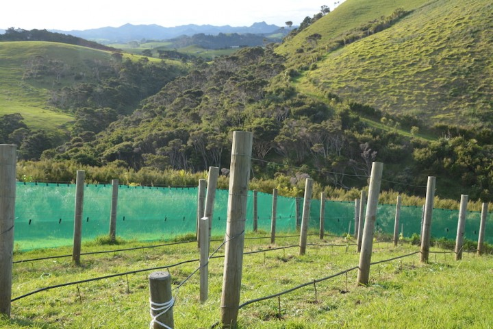 The northwest facing vineyard has a surrounding windbreak of plantings, plus protective windstop to shelter the vines from coastal winds.